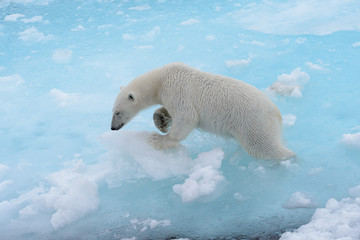 Poster Ijsbeer Wild polar bear going in water on pack ice in Arctic sea