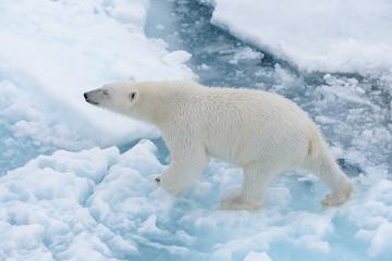 Deurstickers Ijsbeer Wild polar bear on pack ice in Arctic sea