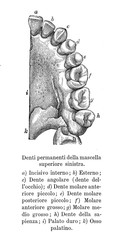 Vintage illustration of anatomy, permanent teeth of the upper left jaw with Italian anatomical descriptions