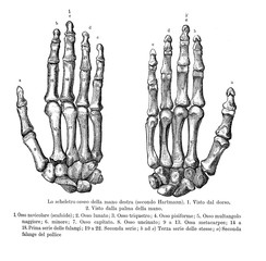 Vintage illustration of anatomy, right hand bones, back and palm view with Italian anatomical descriptions