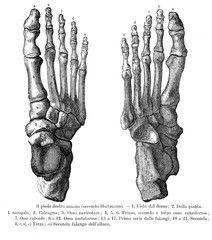 Vintage illustration of anatomy, right foot bones, dorsalis and sole view with Italian anatomical descriptions