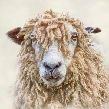 Portrait of a Leicester Longwool Sheep with Textures added