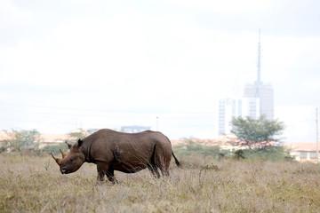 The Nairobi skyline is seen in the background as a black rhino walks through the Nairobi National Park, near Nairobi