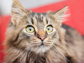 A small fluffy cat looks up. Portrait of a cat on a red background_