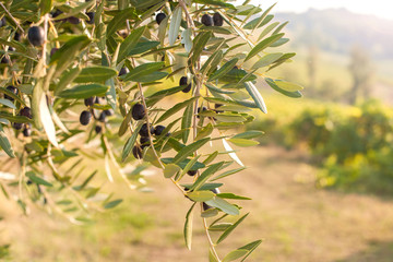 Trees with olives, green leaves and sunlight. Agriculture Italy.