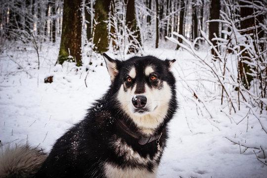 Alaskan malamute  in winter forest