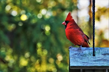 A single male cardinal bird perching on the roof of wooden feeder enjoy watching and relaxing on the soft focus garden background, Autumn  in Georgia USA. Wall mural
