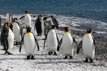 King penguins waddle out to sea on the beach on Salisbury Plain on South Georgia in the Antarctic