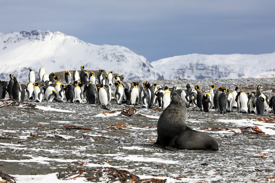 A young fur seal poses in front of a colony of king penguins on Salisbury Plain on South Georgia in the Antarctic
