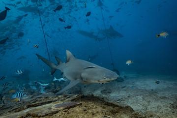 Shark feeding underwater background