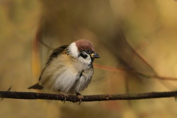 Eurasian tree sparrow sits on the branch in autumn. Woldlife scene from nature. Passer montanus.