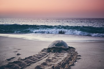 Keuken foto achterwand Schildpad Green turtle heading back to ocean