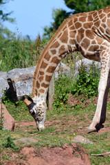 Rothschilds giraffe (Giraffa camelopardalis rothschildi)