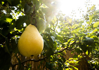 Rippe pear in the orchard ready for harvests