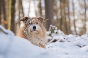 Hübscher blonder Hund im Schnee - Variante 1