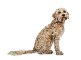 Head shot of sweet female adult golden Labradoodle dog sitting side ways with closed mouth, looking at lens with brown eyes. Isolated on a white background.