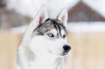 Gray husky dog standing in blizzard head portrait. Different eyes