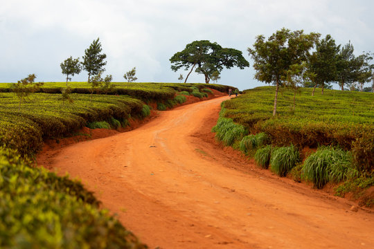 Cultivation of tea in the south of Malawi
