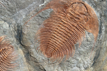 Fossil of a trilobites from the early ordovician period found in Czech Republic