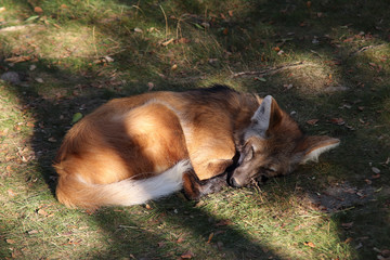 Sleeping Maned Wolf