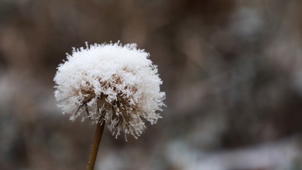 frozen dandelion on a blue background