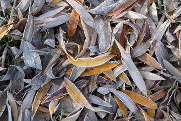 White hoarfrost on fallen yellowed willow leaves