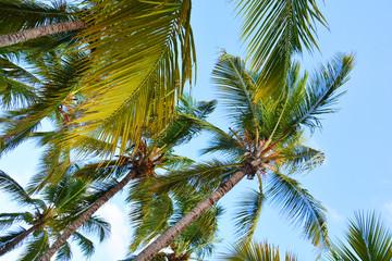 palm, tree, sky, tropical, coconut, beach, palm tree, nature, green, blue, summer, trees, island, palms, vacation, caribbean, sun, leaf, travel, palmtree, plant, palm trees, blue sky, exotic, holiday