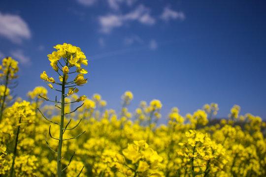 champ de colza en fleur