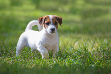 funny puppy Jack Russell Terrier runs on a summer lawn