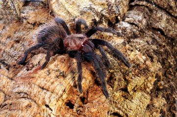 Vogelspinne aus Mexiko (Brachypelma verdezi) tarantula from Mexico