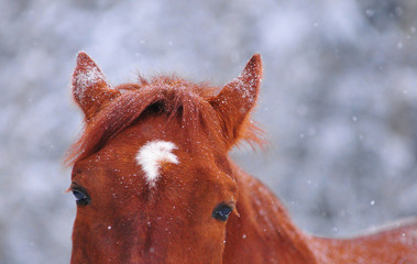 snow on the chestnut horse in winter detail