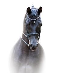 black trakehner dressage horse portrait isolated on white