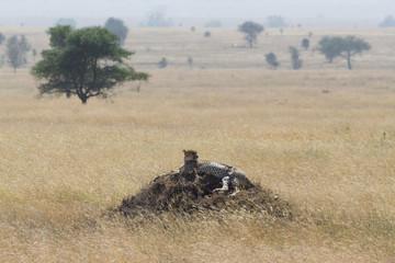 Cheetah watching from raised mound in Serengeti, Tanaznia