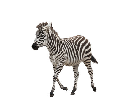 Zebra foal on white background isolated