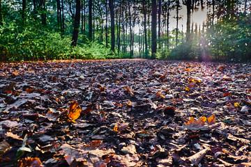 Die Sonne scheint zwischen den Bäumen des Waldes auf den von Laub Bedeckten Pfad. Goldener Herbst, Gremberger Wäldchen - Köln/Deutschland