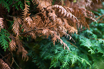 Yellow and green thuja
