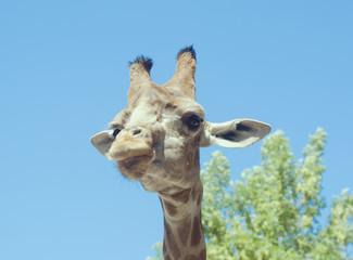 Portrait of a giraffe against blues sky. Wild animal photo