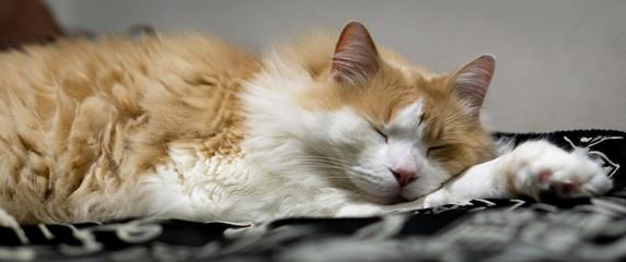 Sleeping Norweigan Forest Cat