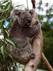 Canvas Prints Charming Captivating Koala in a Eucalyptus Tree.