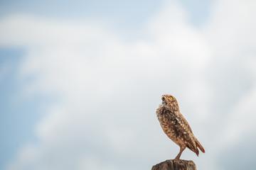Pequena coruja selvagem sobre a cerca com olhos amarelos vibrantes com o céu azul de fundo.