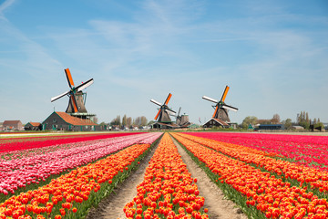 Fototapeta Landscape of Netherlands bouquet of tulips and windmills in the Netherlands.