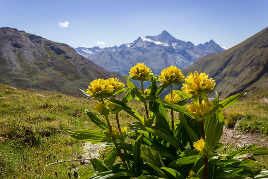 Alpine wild flower Genziana punctata (Spotted Gentian) with Grivola group as background. Photo taken from Grauson valley at an altitude of 2400 meters. Aosta valley, Italy