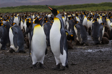 The king penguin (Aptenodytes patagonicus) is a large species of penguin - Antarctic.
