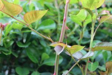 Thorny stems and leaves of a rose bush