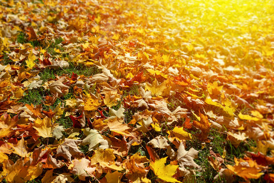 Raking leaves in the autumn fall weather.
