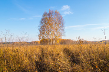 Golden field with grass, birch tree in the background and deep blue sky
