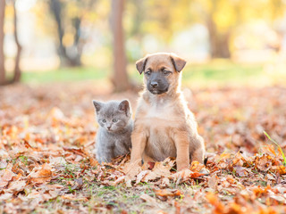 mongrel puppy and tiny kitten sitting together on autumn leaves at sunset