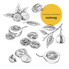 hand-drawn illustration of spice nutmeg. Vintage graphic set of illustrations for the design of menus, restaurants, cafes and packaging. plants and spices