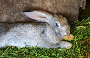 gray rabbit lies in a cage