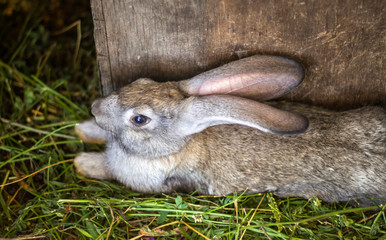 gray rabbit lies in a cage on the grass